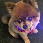 Toy Pom Bear with night collar
